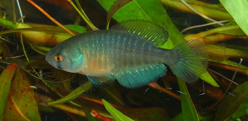 Pró-Espécies seleciona consultoria para estudos de peixes-anuais ameaçados de extinção do PAN Rivulídeos – Encerrada