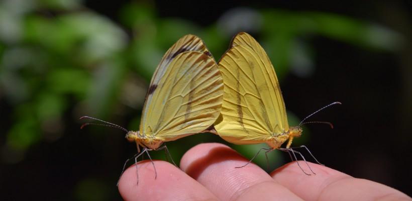 ICMBIO promove oficina online de avaliação do risco de extinção de espécies de borboletas