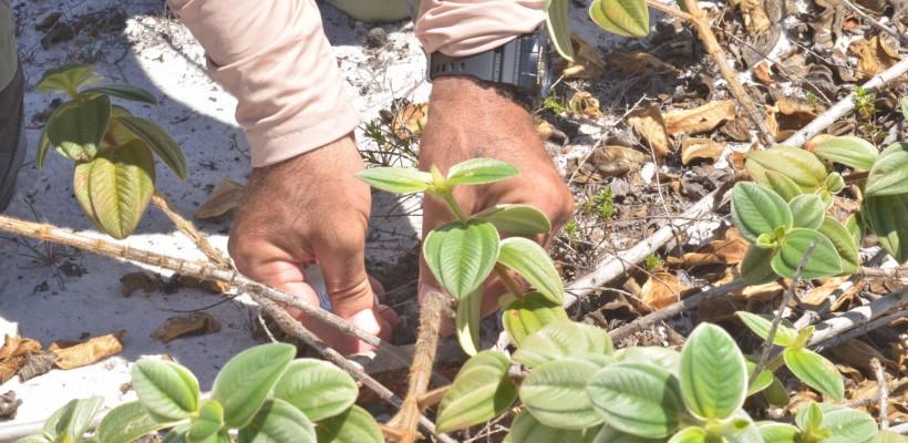 Equipes realizam estudos para a produção de mudas da Pleroma hirsutissimum