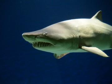 Dia Internacional do Tubarão é comemorado com esforços regionais para prevenir a extinção da espécie Carcharias taurus