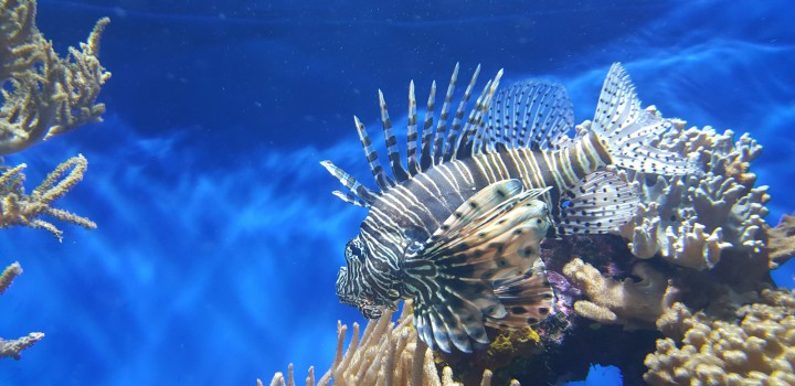 Espécie exótica invasora de peixe é encontrada na costa brasileira e acende alerta para seus impactos na biodiversidade marinha